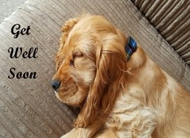 Get Well Get Well Soon Spaniel Dog Ill Poorly personalised online greeting card