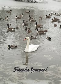 Photogtaphy swans ducks lake animals z%a personalised online greeting card