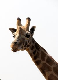 Photography giraffes Africa animals mammals necks horns ears patches for-her for-him for-child personalised online greeting card