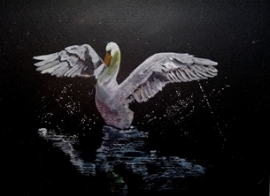 White swan on Black