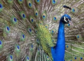 Photography peacock fanning tail bird blue gold eyes feathers animals z%a personalised online greeting card