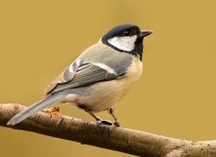 Photography wild, life, wildlife, nature, free, bird, birds, feather, feathered, friends, fathered friends, great, tit, tits, great tit, great tits, natural habitat, personalised online greeting card