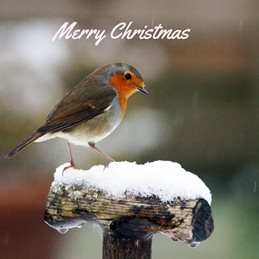 Gary Green Eyes Robin on spade in snow Christmas  Robin Snow Seasonal December personalised online greeting card