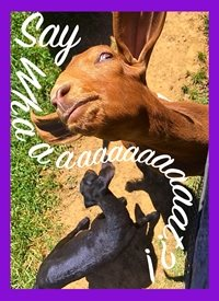 Black Bunny Designs and Greetings Say Whaaat? General goat, funny, humor, silly, barnyard animals, barn, farm, country, meme, spring, celebration, sassy, derpy personalised online greeting card