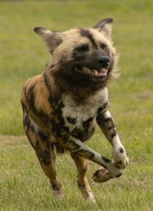 Photography ^African wild dog^,  wild dog, African, photography  personalised online greeting card