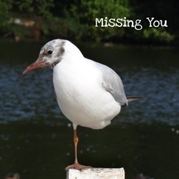Gary Green Eyes Seagull Missing you Photography General  Seagull  personalised online greeting card