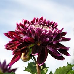 Photography chrysanthemums flowers plants pink maroon gardens Sussex Pashley for-her personalised online greeting card