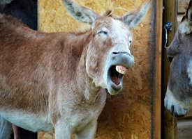 Wight Life Images EEEEE AWWWW Donkey photography  Laughing Donkey Joke Funny Face Open Wide Check Teeth Clean Grin Grinning Smile animals z%a personalised online greeting card