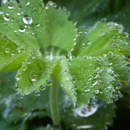 Raindrops on Lady's Mantle 2