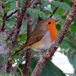 Photography Christmas robins birds red  winter animals for-her for-him personalised online greeting card
