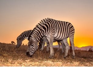 Helen Jobson Photographer Zebra Sunset Photography zebra, animal, line, lines, pattern, patterned, striped, stripes, white, africa, wildlife, mammal, safari, wild, stripe, nature, conservation, mane, african, mammals, zebras, africa wildlife, sunset personalised online greeting card