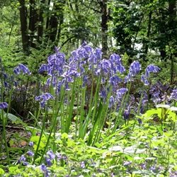 Photography bluebells flower plant blue green woods Banstead Surrey z%a personalised online greeting card