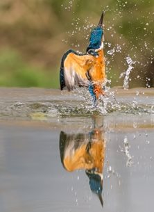 Chappers Photography Kingfisher fishing Photography Kingfisher, bird, fishing, water, river, wildlife, nature personalised online greeting card