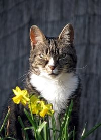 General Cat, tabby, animal, spring, daffodils, flowers, yellow personalised online greeting card