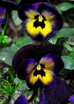 Photography flowers, pansies, purple personalised online greeting card