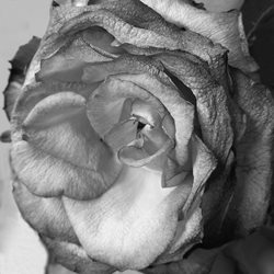 General rose black and white aged wrinkled for-him for-her personalised online greeting card