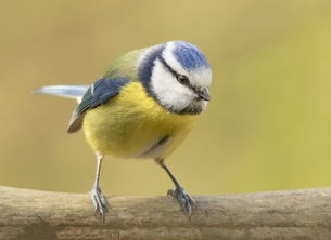 Photography blue, tit, blue tit, wild, wildlife, nature, free, bird, birds, blue, yellow, small bird, small birds, personalised online greeting card