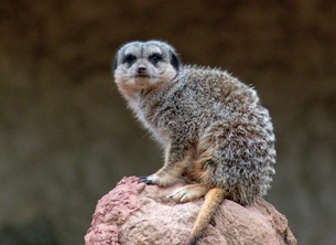 Photography Photography, animal, meerkat, nature, wildlife, Africa, general personalised online greeting card