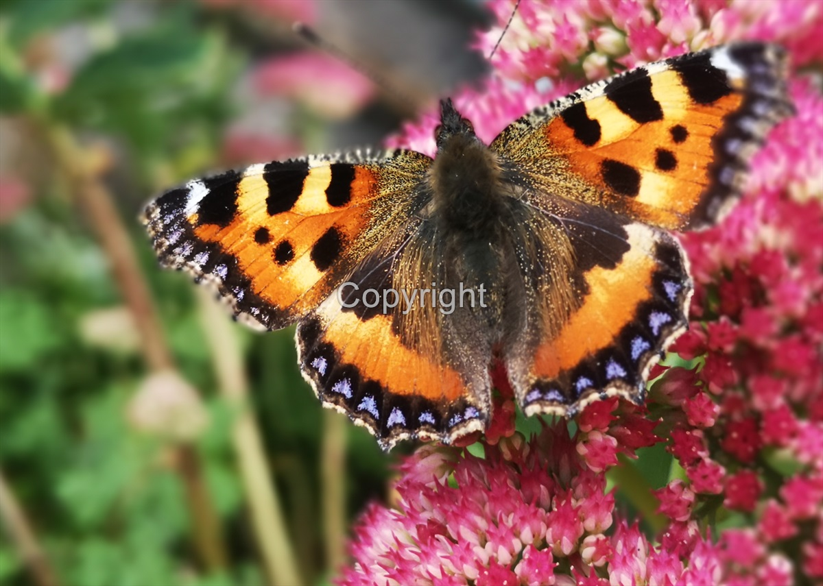 Red Admiral butterfly - pink flower
